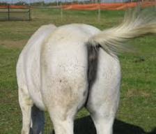 horse fart